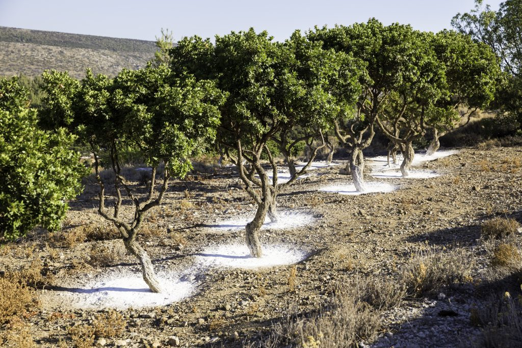 Arbres à mastiha sur l'île de Chios
