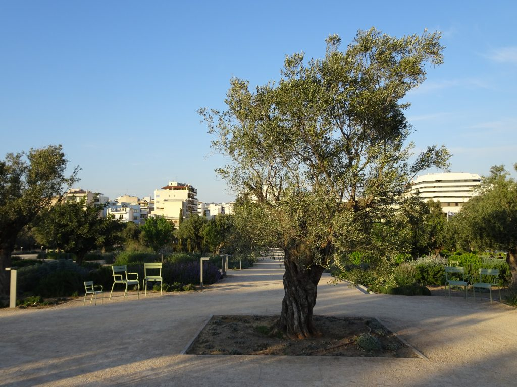 The olive tree, the symbolic tree of Greece at SNFCC park