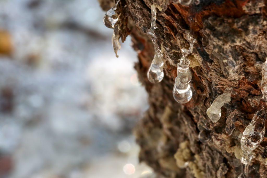 Résine s'écoulant d'un arbre à Mastiha de l'île de Chios en Grèce