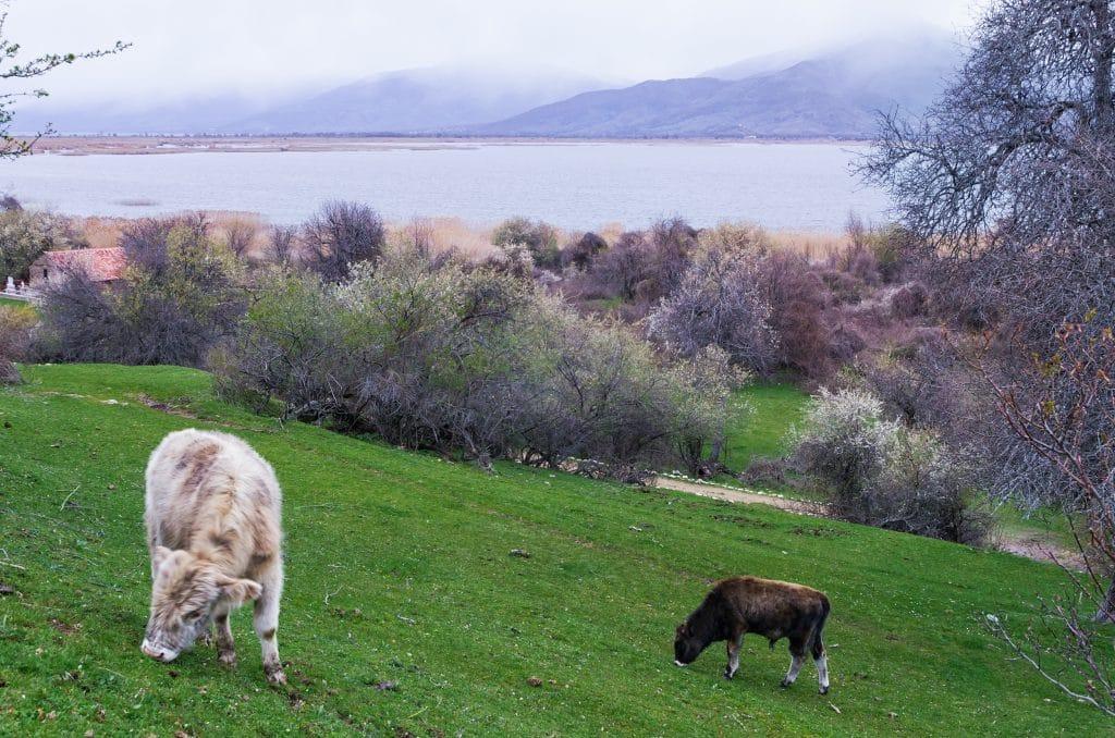 Cattle dwarfs in Agios Achilios island in Small Prespa lake, Florina, Greece