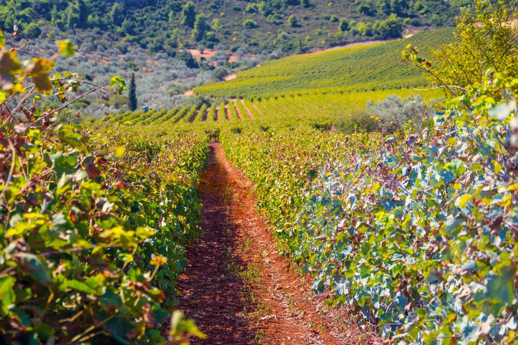 Vineyard landscape in Nemea, Peloponnese, Greece.