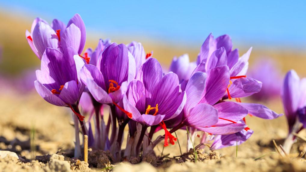 Le fleurs de safran (krokos) dans un champ à Kozani au nord de la Grèce